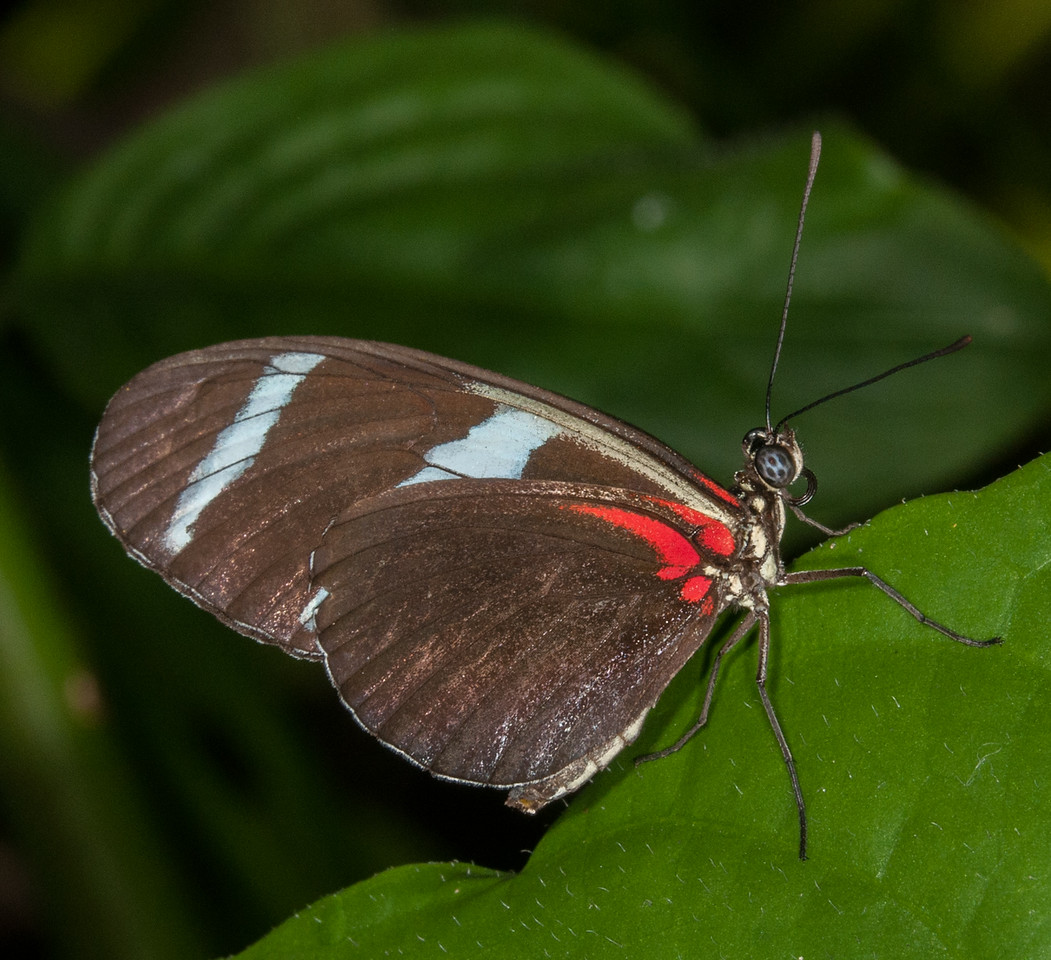 • Location - Butterfly World<br /> • Heliconius Doris Butterfly