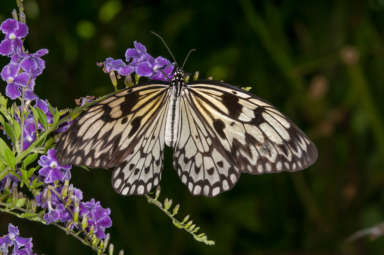 • Location - Butterfly World<br /> • Idea Leuconoe Butterfly