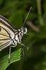• Location - Butterfly World<br /> • Idea Leuconoe Butterfly