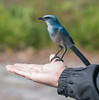 The Scrub Jay looks so comfortable on Ed's thumb.