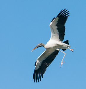 Wood Stork coming for a landing
