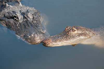 Two Alligators nose to nose