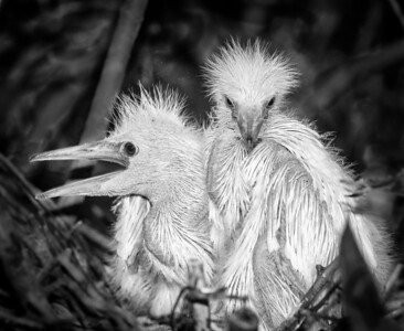 A pair of Snowy Egret babies - This is togetherness!
