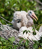 Baby Wood Stork just hanging loose