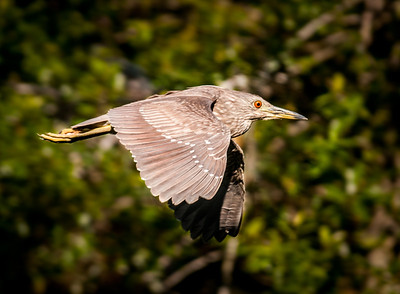 Immature Yellow-crowned Night-Heron in flight
