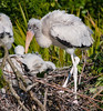 Immature Wood Stork ruffling its feathers
