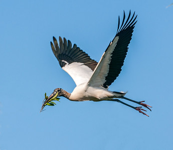 A Wood Stork on the way to its nest