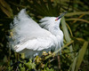 A Snowy Egret showing its plumage