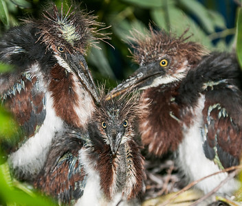 A trio of baby Tricolored Herons