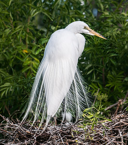 Great Egret showing off its plumage.