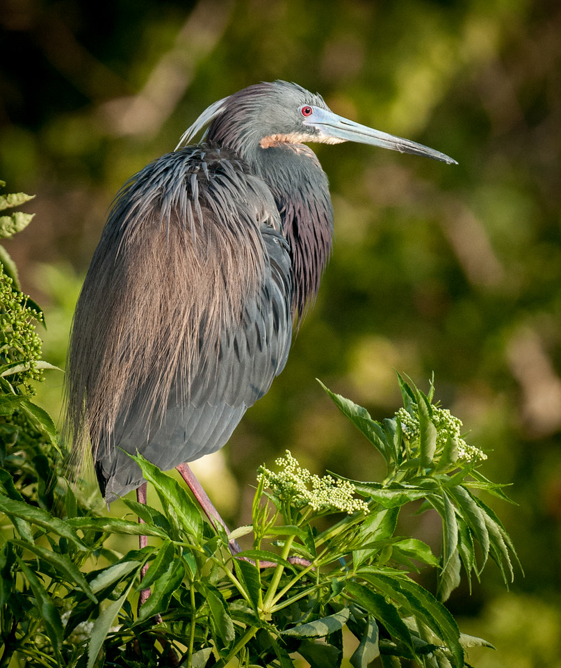 Tricolored Heron Breed Plumage