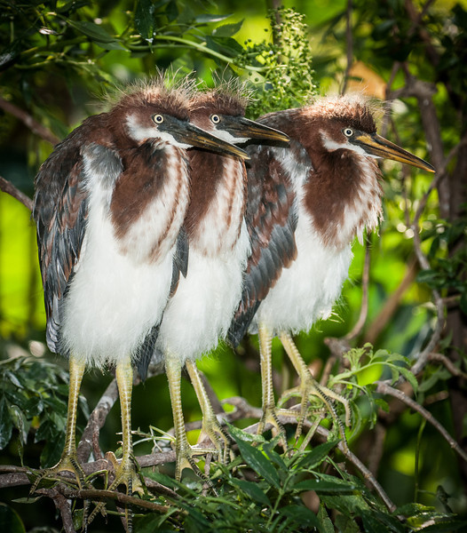 Is that the Tricolored Heron Triplets or the 3 Stooges?