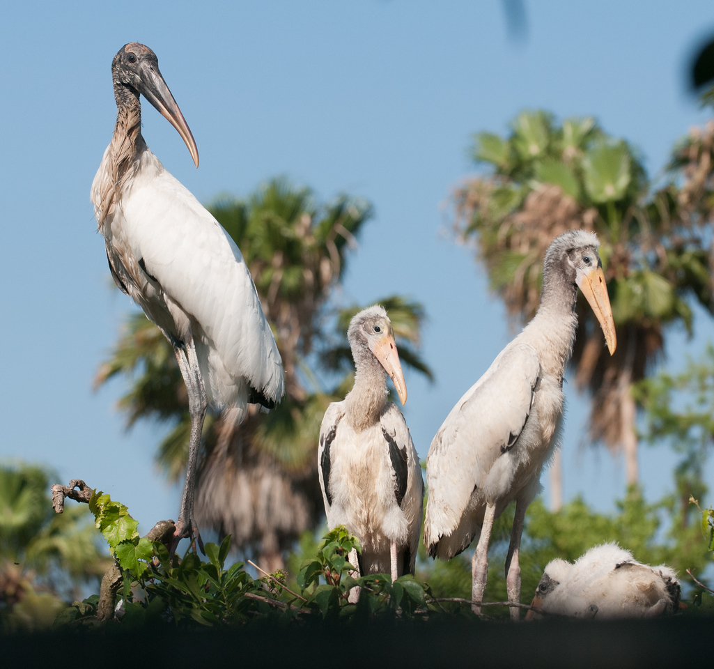 One of the adult Wood Stork with her juveniles
