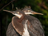 What a happy looking set of twin Tricolored Herons!