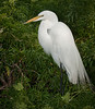 Great Egret with its breeding plumage