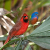 • Location - Entrance to Green Cay Nature Center<br /> • A Northern Cardinal with a Painted Bunting in the Background