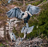 • Location - Wakodahatchee Wetlands<br /> • What's going on with the Great Blue Heron mating?