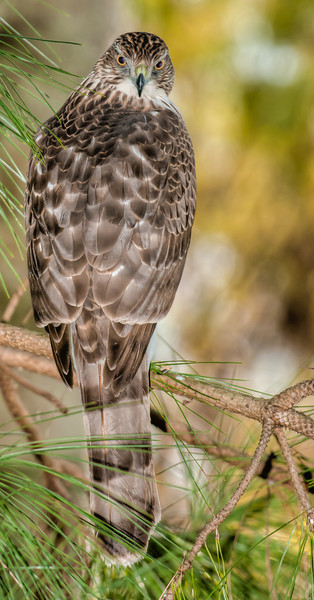 • Location - Entrance to Green Cay Nature Center<br /> • A Cooper's Hawk was posing for over an hour for me.