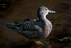 • Location - Wakodahatchee Wetlands<br /> • I just like the lighting on this female Blue-winged Teal