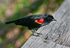 • Location - Wakodahatchee Wetlands<br /> • A close-up of a Red-winged Blackbird