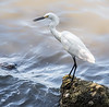 Snowy Egret hanging out at Riverside Park in Indialantic looking for its next meal