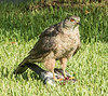 A Cooper's Hawk having a Dove for breakfast