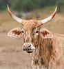 • Location - Fellsmere Rd in Kenansville<br /> • Cracker Cow