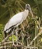 • Location - Lake Marian<br /> • Wood Stork