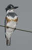 • Location - Fellsmere Rd in Kenansville<br /> • Belted Kingfisher