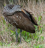 • Location - Lake Cypress<br /> • Limpkin