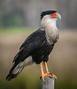 • Location - Joe Overstreet Road<br /> • Crested Caracara