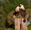 • Location - N. Canoe Creek Rd<br /> • What affection this Caracara shows to its mate