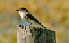 • Location - Joe Overstreet Rd<br /> • Eastern Phoebe