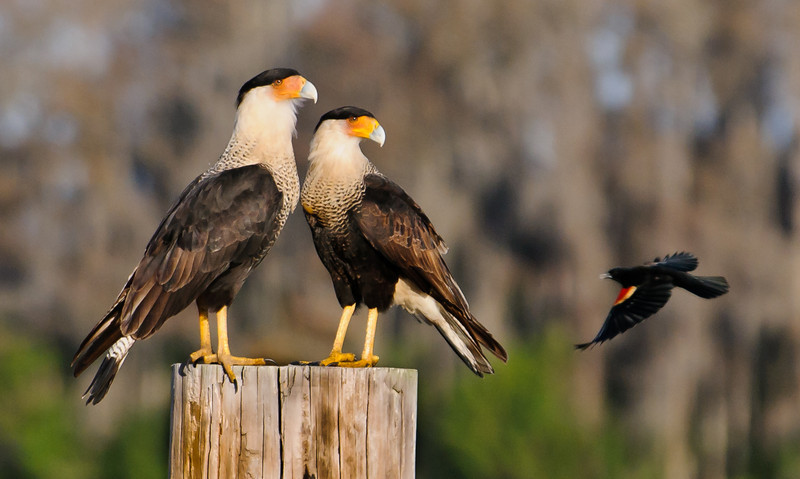 • Location - N. Canoe Creek Rd<br /> • A pair of Crested Caracaras keeping their eyes on the Red-winged Blackbird<br /> • No, I didn't pay them for this pose. ☺