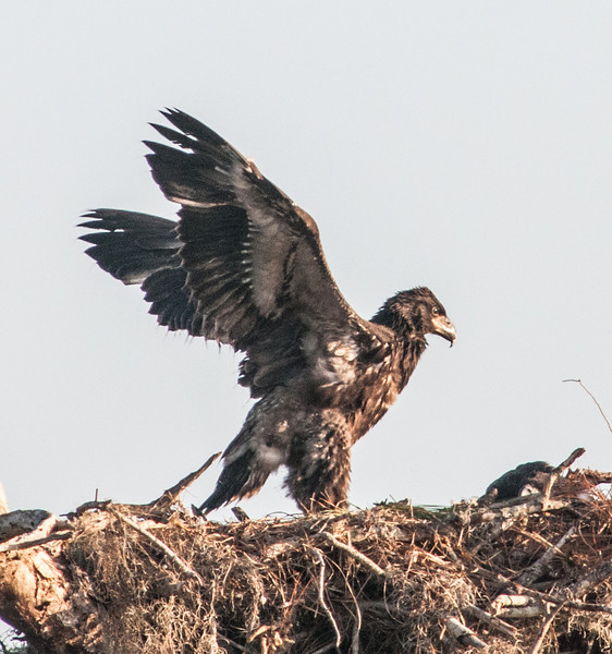 • Location - Canoe Creek Rd in Kenansville<br /> • Eaglet stretching its wings