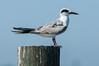 •Location - Joe Overstreet Landing<br /> • Non-breeding Gull-billed Tern