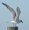 •Location - Joe Overstreet Landing<br /> • The Gull-billed Tern with its wings stretch
