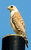 • Location - Joe Overstreet Landing<br /> • The Red-shouldered Hawk taking in the sights from the top of a power pole.