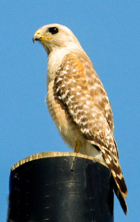 •Location - Joe Overstreet Landing<br /> • The Red-shouldered Hawk taking in the sights from the top of a power pole.