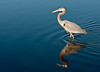 • Location - Black Point Drive<br /> • Great Blue Heron on the move