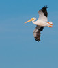 • Location - Black Point Drive<br /> • American White Pelican in flight