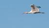 • Location - Black Point Drive<br /> • White Ibis in flight