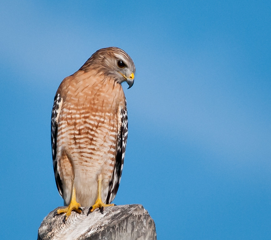 • Location - Entrance to Bio Lab Road<br /> • Red-shouldered Hawk - I can see you down there