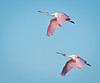 • Location - Black Point Drive<br /> • A pair of Roseate Spoonbill in synchronous flight