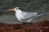 • Location - Parrish Park parking area<br /> • Royal Tern