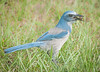 Scrub Jay with a berry, it just found