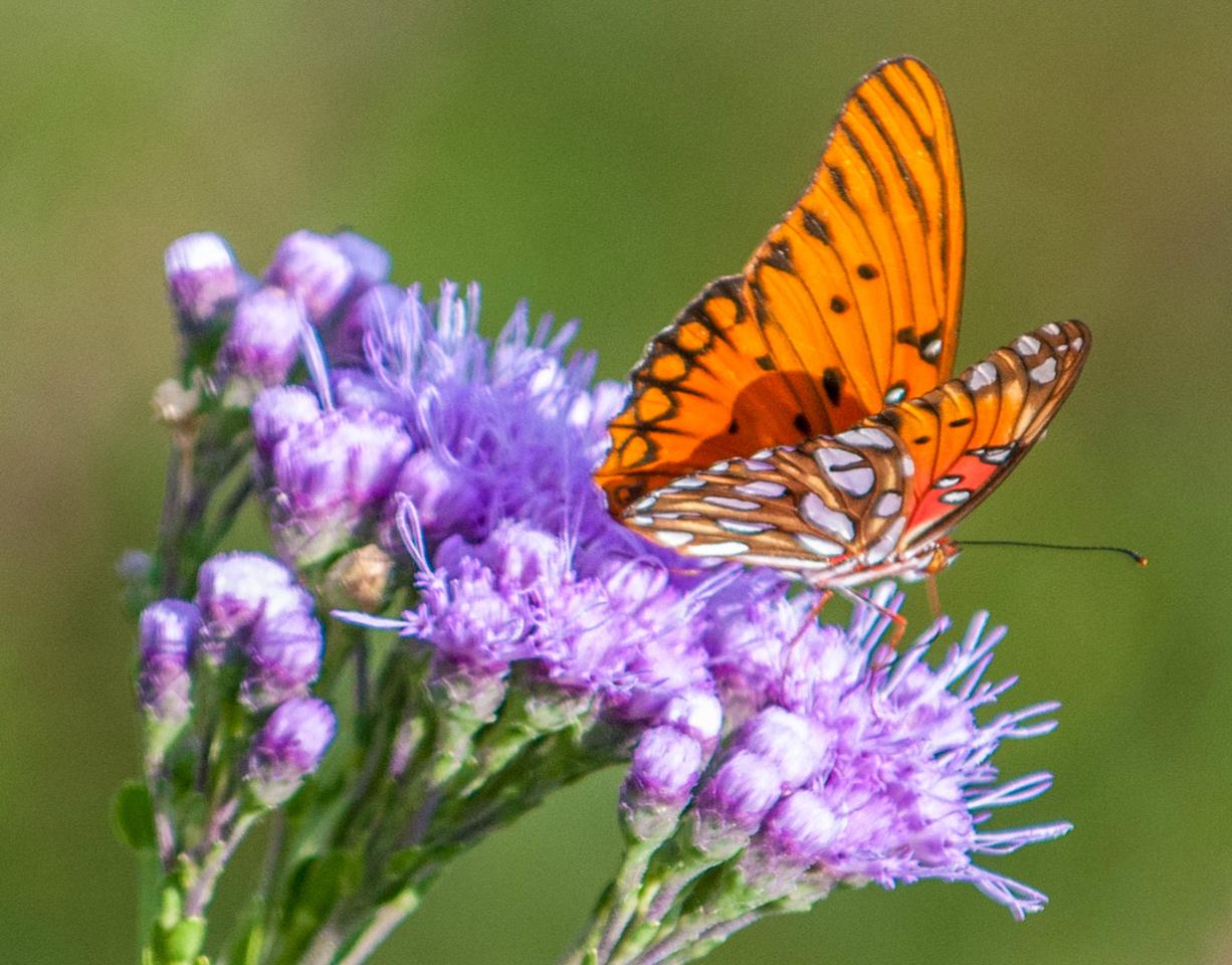 Gulf Butterfly
