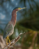 • Location - Bio Lab Road<br /> • Green Heron - Yep, I have a long neck which you normally don't see.