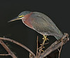 • Location - Bio Lab Road<br /> • Green Heron - Not a bad portrait of me
