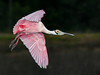 • Location - Black Point Road<br /> • Roseate Spoonbill